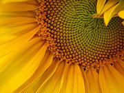 Sunflower Print by Matt Taylor