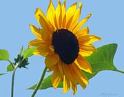 Mikki Cucuzzo - Sunflower