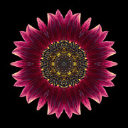 David J Bookbinder - Sunflower Moulin Rouge I...