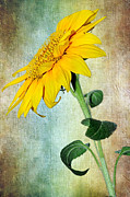 Sunflower On Textured Canvas Print by Kaye Menner