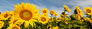 Yellows Framed Prints Framed Prints - Sunflower Panorama Framed Print by K Hines