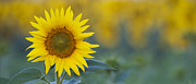 Sun Flower Framed Prints - Sunflower Panoramic Framed Print by Tim Gainey