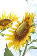 Farmstand Photo Metal Prints - Sunflower Perspective Metal Print by Kerri Mortenson
