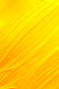 Garden Petal Image Photos - Sunflower petals by Mythja  Photography