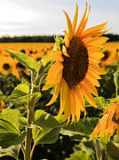 John Combe - Sunflower Profile