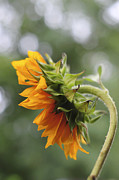 Take Time Framed Prints - Sunflower Profile Framed Print by Terry DeLuco