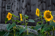 Old Barns Prints - Sunflower Quartet Print by Bill  Wakeley