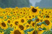 Terry DeLuco - Sunflower Rain Sussex NJ
