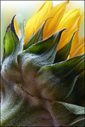 Geraldine Alexander - Sunflower Rear View