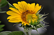 Flovers Framed Prints - Sunflower Framed Print by Savannah Gibbs
