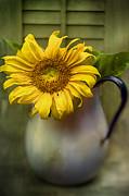 Sunflower Series I Print by Kathy Jennings