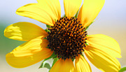ChelsyLotze International Studio - Sunflower Series IV