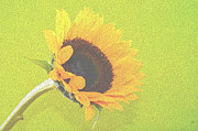 Sherry Allen - Sunflower