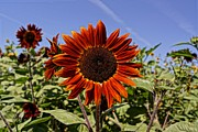 Farmstand Photo Metal Prints - Sunflower Sky Metal Print by Kerri Mortenson