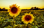 Christopher L Nelson - Sunflower Sunburst