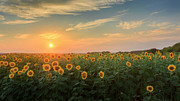 Rural Landscapes Framed Prints - Sunflower Sundown Framed Print by Bill  Wakeley