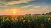 Sunflower Sundown Print by Bill  Wakeley