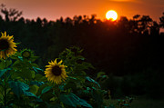 Cheryl Baxter Metal Prints - Sunflower Sunset Metal Print by Cheryl Baxter