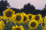 Rural Indiana Prints - Sunflower Sunset - D008554 Print by Daniel Dempster