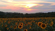 Dawn Vagts - Sunflower Sunset