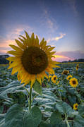 Michael Donahue - Sunflower Sunset