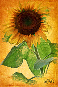 Flower Still Life Prints Prints - Sunflower Sunset Textured Design Print by Carol F Austin