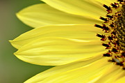 Sonnenblume Prints - Sunflower Print by Susanne Krug