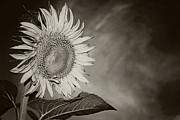 Carolyn Pettijohn - Sunflower Swirling Black and White