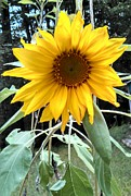 Tammy Cote - Sunflower