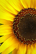 Tammy Schneider - Sunflower
