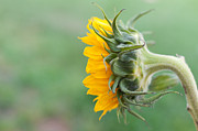 Front Porch Prints - Sunflower Print by Terry DeLuco