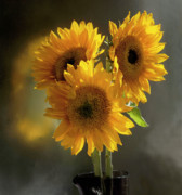 Addie Hocynec Art Posters - Sunflower Trio Poster by Addie Hocynec