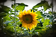 Sunflower Vignette Edges Print by Ms Judi