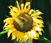 Canmore Artist Posters - Sunflower Poster by Virginia Ann Hemingson