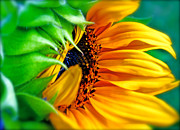 Volunteer Prints - Sunflower Volunteer Good Morning Print by Gwyn Newcombe