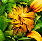 Volunteer Prints - Sunflower Volunteer Print by Gwyn Newcombe