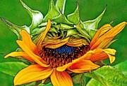 Gwyn Newcombe - Sunflower Volunteer Half Bloom