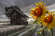 Old Barns Photo Prints - Sunflower Watch Print by Debra and Dave Vanderlaan