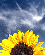 Brandon Alms - Sunflower with a Blue Sky