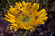 Yellow Bugs Prints - Sunflower with ladybugs Print by Garry Gay