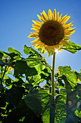 Buttonwood Farm Photo Posters - Sunflower with Sun Poster by Donna Doherty