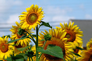 Buttonwood Farm Photo Posters - Sunflowers 1 2013 Poster by Edward Sobuta