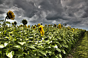 Katie McEnaney - Sunflowers against the...