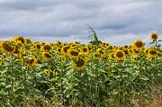 Patricia Hofmeester - Sunflowers and a dark sky