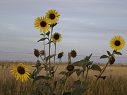 Kansas Pyrography - Sunflowers and Barbed Wire by Cary Amos