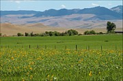 Big Horn  Photography - Sunflowers and Mountains