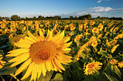 Saint-remy De Provence Posters - Sunflowers at Dawn Poster by Brian Jannsen