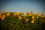Douglas Stucky - Sunflowers At Sunrise