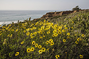 Cliff Lee Photo Framed Prints - Sunflowers at Yucca Point Framed Print by Lee Kirchhevel