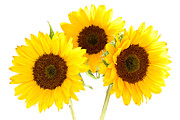 Sunflowers Print by Claudio Bacinello